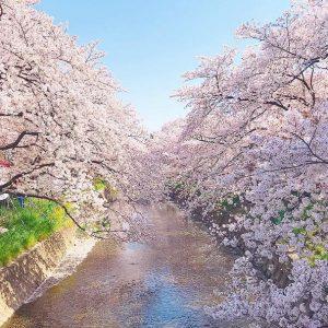 桜R‗@achamo.s2